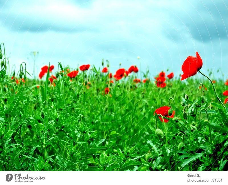 "meintest du ""Grunzochse""? Himmel grün blau rot Sommer Wolken Gras Berge u. Gebirge Wind geschlossen frisch Rasen Aussicht Hügel Blühend Mohn"