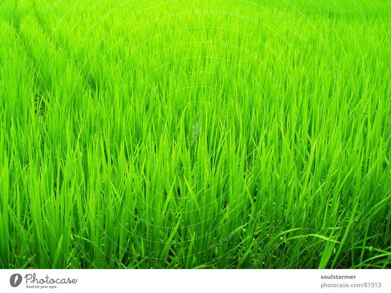Green green green grün Pflanze Ferien & Urlaub & Reisen Ernährung Gras Park Feld Lebensmittel Perspektive Asien China Japan Halm Botanik Futter Stroh
