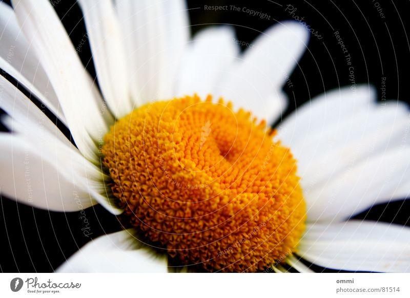 Feinfärbung schön Leben Pflanze Blume Blüte ästhetisch gelb weiß rein perfekt Vollendung Pollen charmant Pflanzenteile Blütenstempel Anmut perlweiß Farbfoto