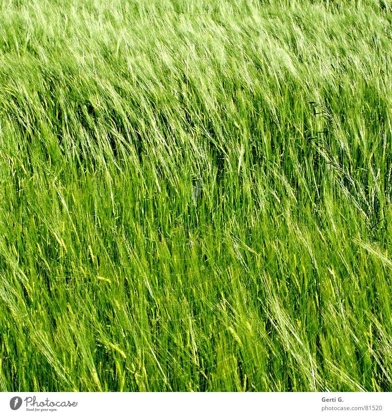 praktisch, quadratisch, GerstenKorn Rohstoffe & Kraftstoffe Zerealien Landwirtschaft Feld Lebensmittel Kornfeld grün Wind Sommer Quadrat diagonal Aussaat Ähren
