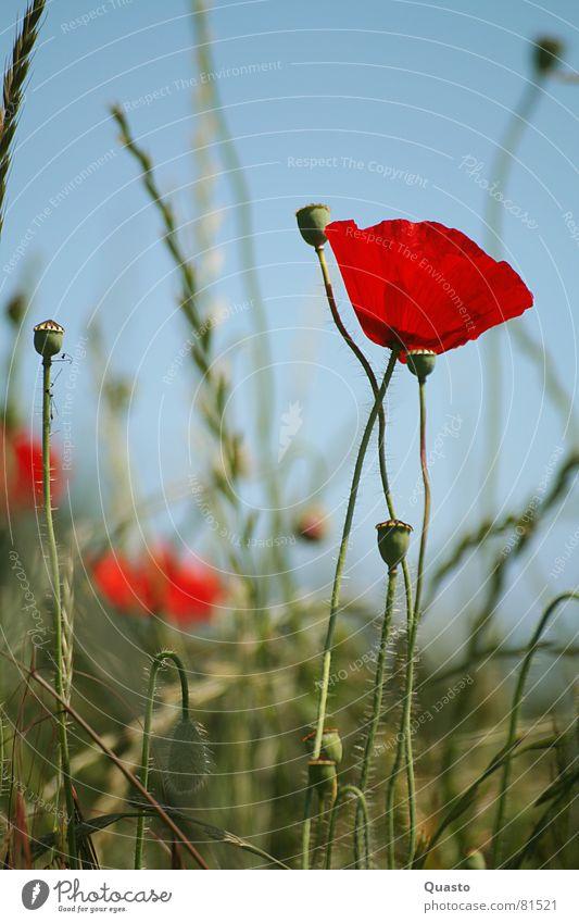 Am Wegesrand Blume rot Sommer ruhig Gras Feld Mohn Schleswig-Holstein
