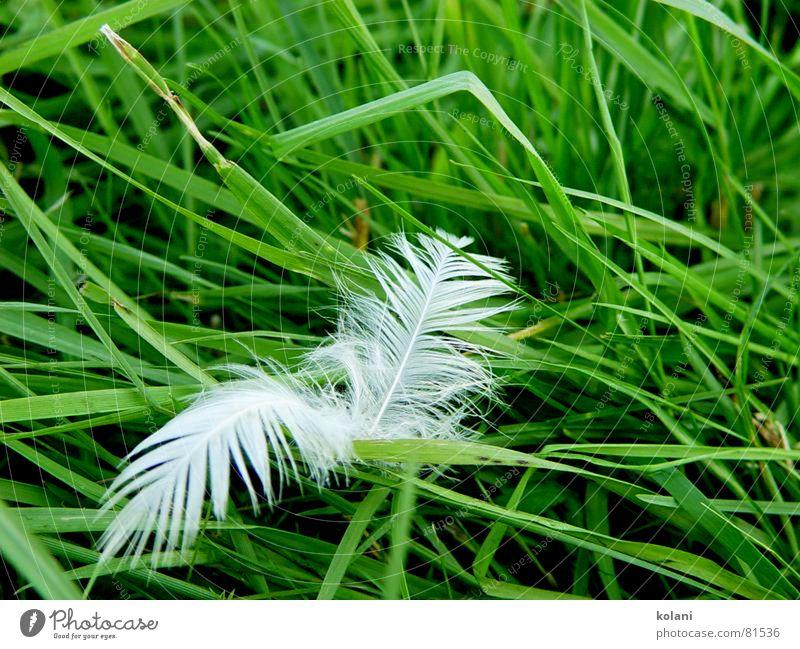 Ende einer Kissenschlacht grün Farbe ruhig Wiese Gras Vogel Wind Feder weich Rasen Weide Halm sanft Gans friedlich Federvieh