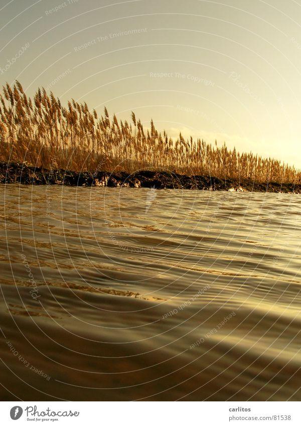 Goldenes  Meer II Sonnenuntergang Weißabgleich Gegenlicht Pfütze Schilfrohr Erholung ruhig Wiese Umwelt Herbst Weide Licht Gras Reflexion & Spiegelung Wellen