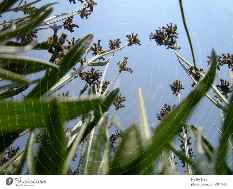 Hoch hinaus 1 Blume grün hoch Froschperspektive Blüte Gras Sommer Juni Himmel blau Blauer Himmel