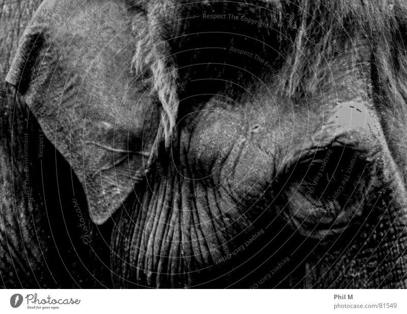 Dickhäuter schwarz Auge dunkel grau Traurigkeit Haut groß Trauer Ohr Falte Säugetier Elefant