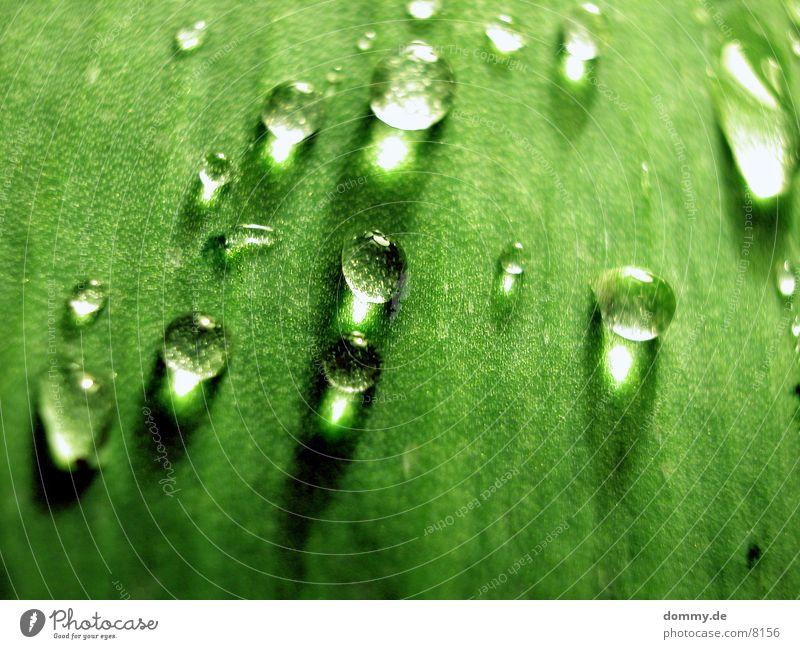 Perlblatt 3 Blatt grün nah schön Makroaufnahme Nahaufnahme Wasser Natur