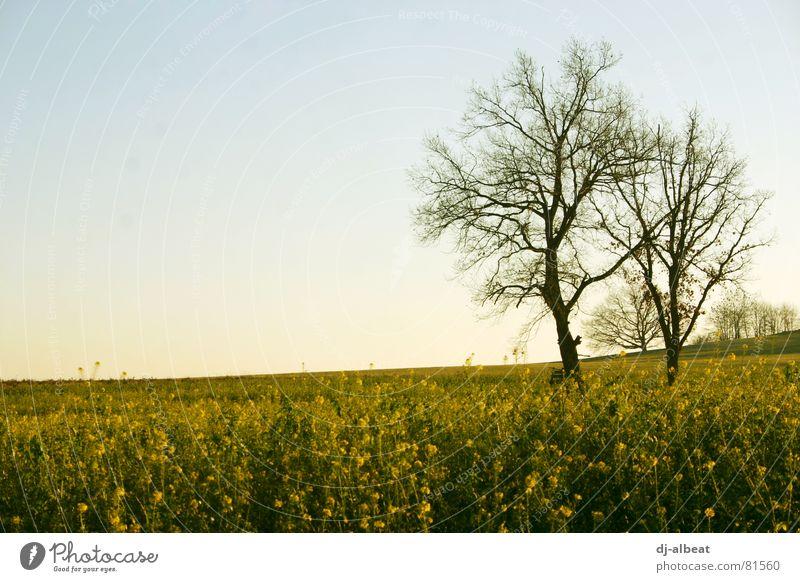 ein bäumsche Baum Holz Feld Raps trüb gelb Außenaufnahme Himmel Landschaft bedecken