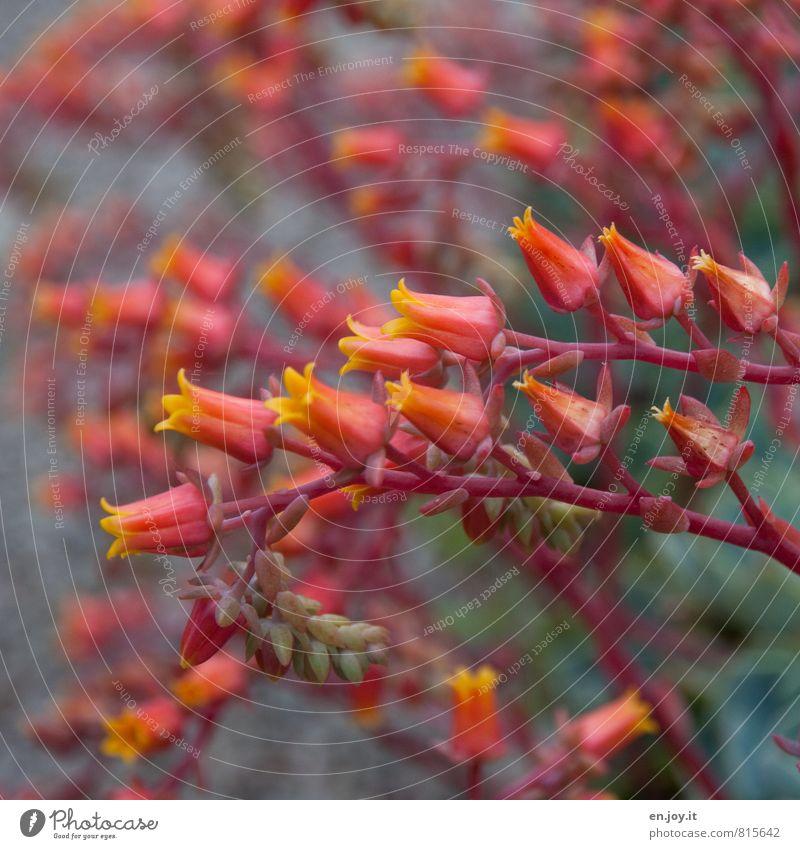 Blumengruß Garten Gartenarbeit Pflanze Blüte Topfpflanze Blühend gelb grün orange Farbe Steingarten Stauden Blütenkelch Steingartenpflanzen Farbfoto mehrfarbig