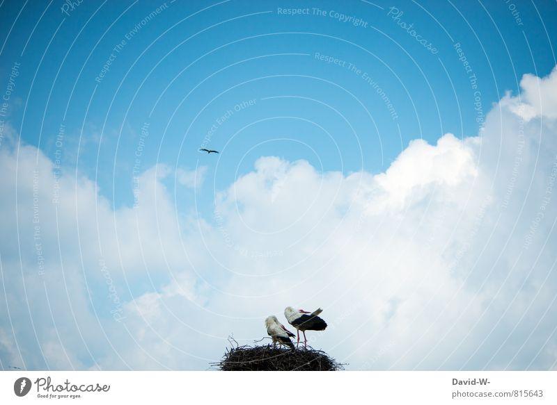 Storche balzen Natur Landschaft Himmel Wolken Sommer Tier Vogel Flügel Klapperstroch Horst Nest 2 3 Tiergruppe Tierpaar Tierfamilie Brunft beobachten ästhetisch