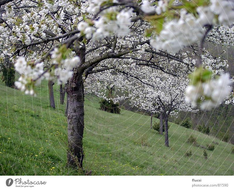 Kirschblühte Natur Baum grün Frühling Blühend Kirsche