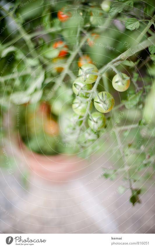 Bald schmecken sie wieder Lebensmittel Gemüse Tomate Ernährung Bioprodukte Vegetarische Ernährung Slowfood Pflanze Nutzpflanze Tomatenstrauch Topfpflanze hängen