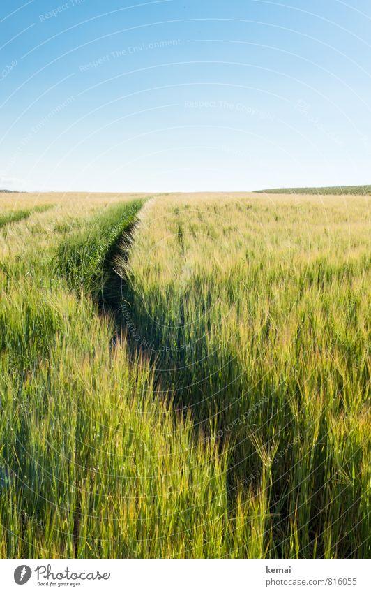 Sommerspur Umwelt Natur Landschaft Pflanze Himmel Wolkenloser Himmel Sonnenlicht Schönes Wetter Wärme Nutzpflanze Gerste Kornfeld Getreide Getreidefeld Feld