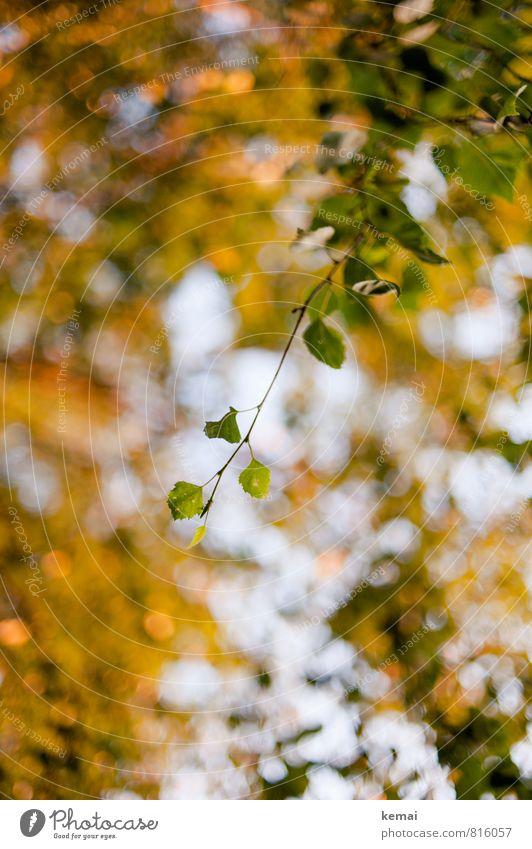 Gelbgrün Umwelt Natur Pflanze Baum Blatt Grünpflanze hängen Wachstum frisch gelb Frühling Unschärfe Farbfoto Außenaufnahme Menschenleer Tag