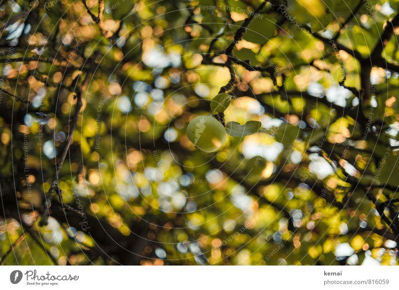 Grüner Apfel Natur Pflanze Sommer Schönes Wetter Wärme Baum Nutzpflanze Apfelbaum Obstbaum Ast Zweig hängen Wachstum frisch Gesundheit gelb grün Farbfoto