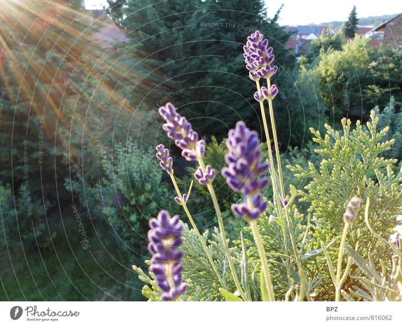 Lavendel im Abendlicht Natur Pflanze grün Sommer Sonne Blume ruhig Leben Blüte natürlich Glück Garten Zufriedenheit authentisch Fröhlichkeit Schönes Wetter