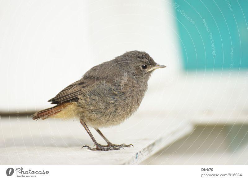 Rotschwanz-Teenie, skeptisch Sommer Tier Wildtier Vogel Singvögel Hausrotschwanz 1 Tierjunges Holzbrett beobachten Blick stehen klein Neugier niedlich weich