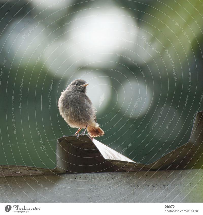 Hausrotschwanz-Teenie grün weiß Sommer Baum Tier Tierjunges Leben grau klein Stein Garten braun Metall Vogel Wildtier