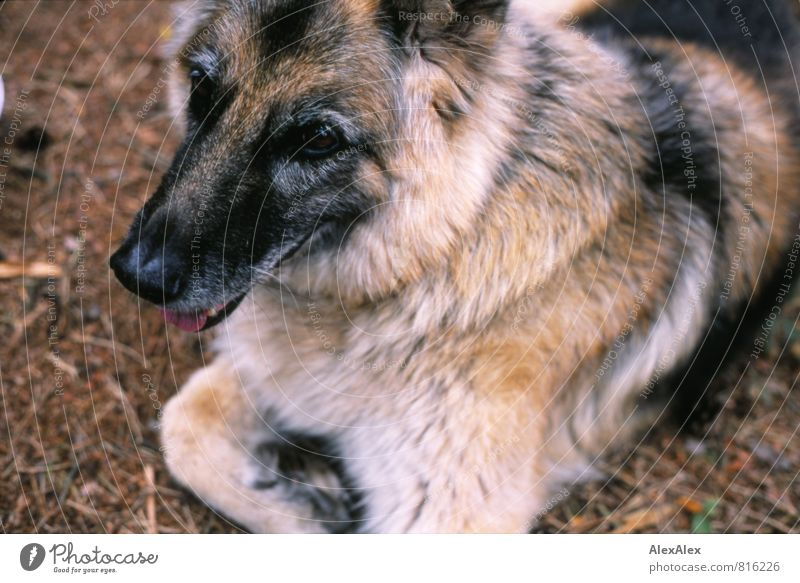Schäferhündin Holly im Märchenwald Tannennadel Waldboden Hund 1 Tier beobachten liegen warten ästhetisch authentisch frech frei schön listig positiv rebellisch