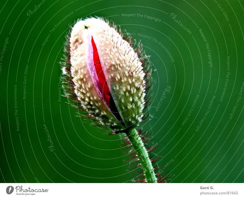 Ritze Natur Blume grün blau rot Sommer Einsamkeit Blüte Frühling frisch Fröhlichkeit offen zart Blühend Mohn