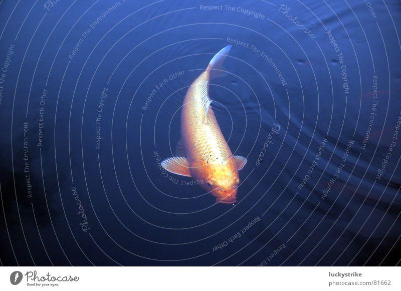 Fisch Wasser ruhig Einsamkeit dunkel See groß Teich Schwimmhilfe Koi Karpfen