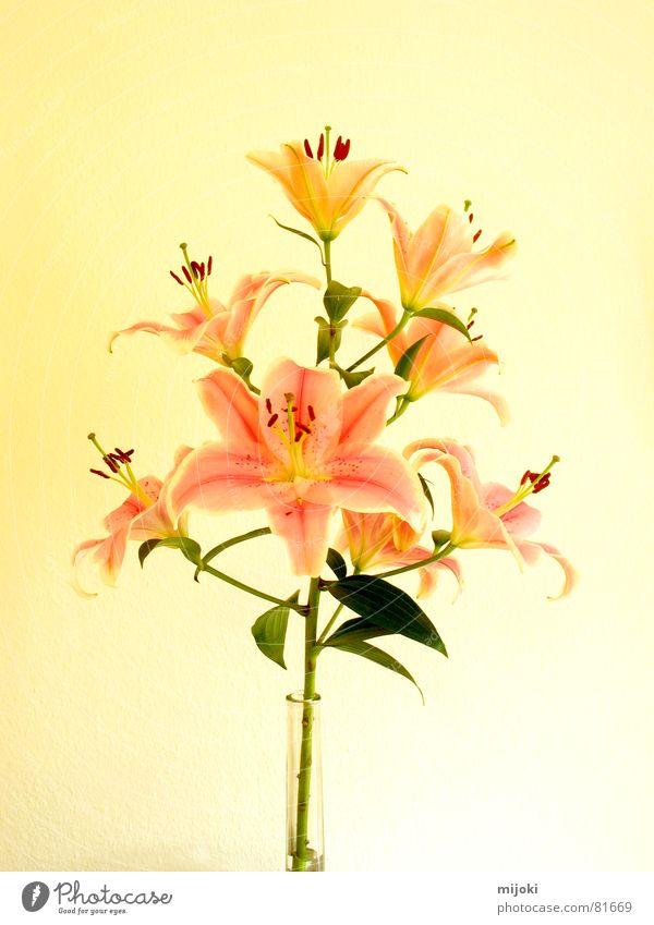 Zimmerlilie gelb Pflanze Blüte Blume Vogelperspektive zerbrechlich zart Sommer fein perfekt schönheit bewahren Blühend Geruch blütenform