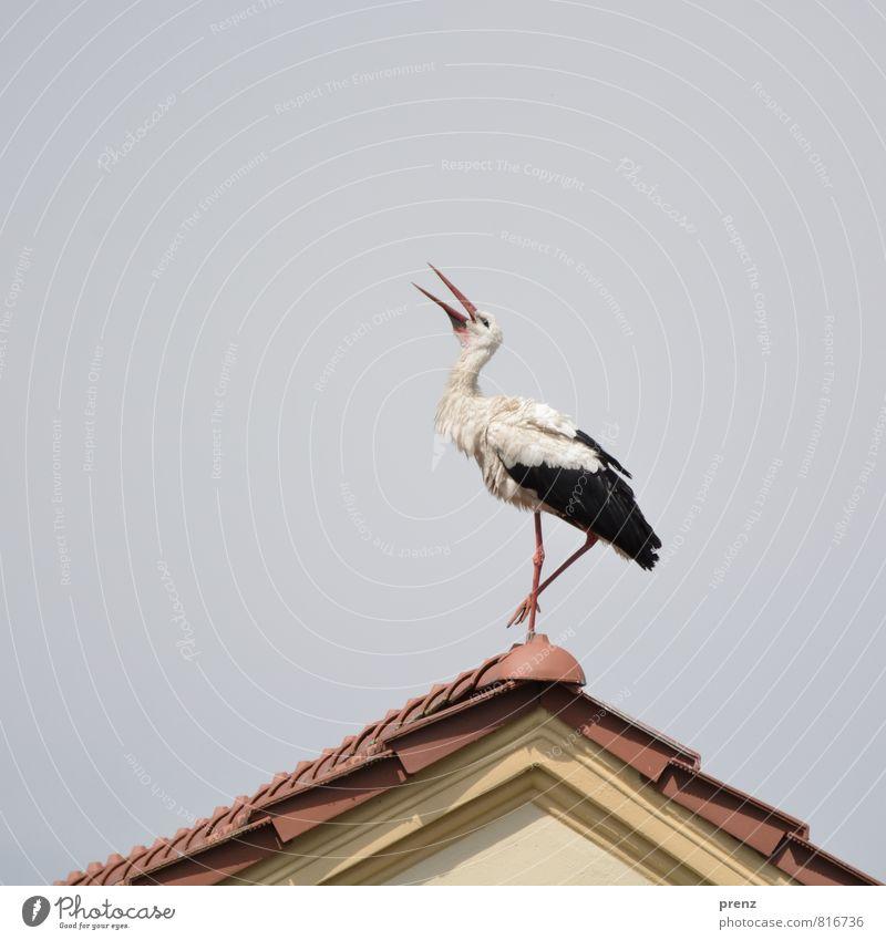 Wetterstorch Umwelt Natur Tier Himmel Sommer Schönes Wetter Wildtier Vogel 1 braun grau weiß Storch Dach Giebelseite Farbfoto Außenaufnahme Menschenleer
