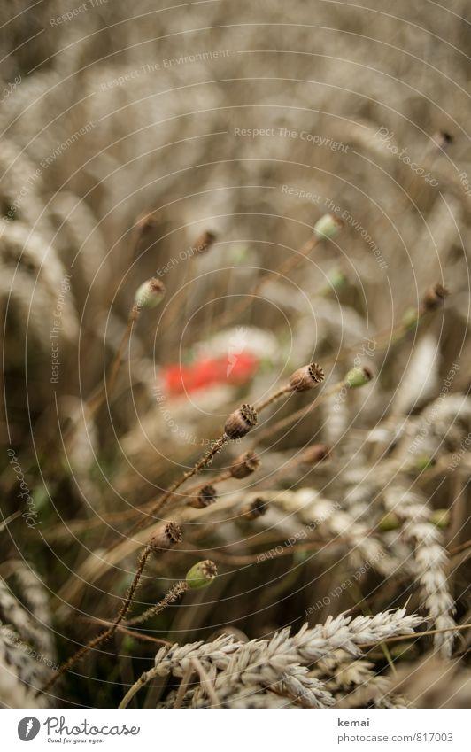 Verblühte Eleganz Sonnenlicht Sommer Schönes Wetter Pflanze Blume Nutzpflanze Getreide Kornfeld Feldfrüchte Weizen Mohn Mohnkapsel Wachstum ästhetisch elegant