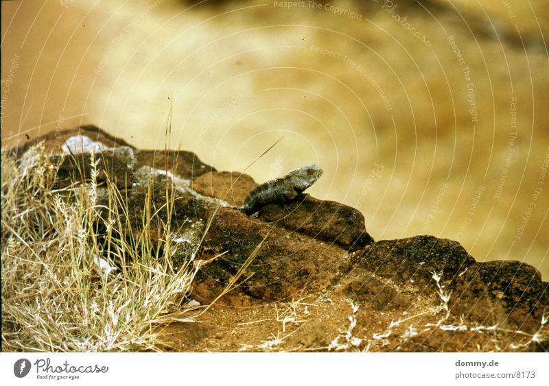 Echse Echsen Dinosaurier Sträucher Sri Lanka