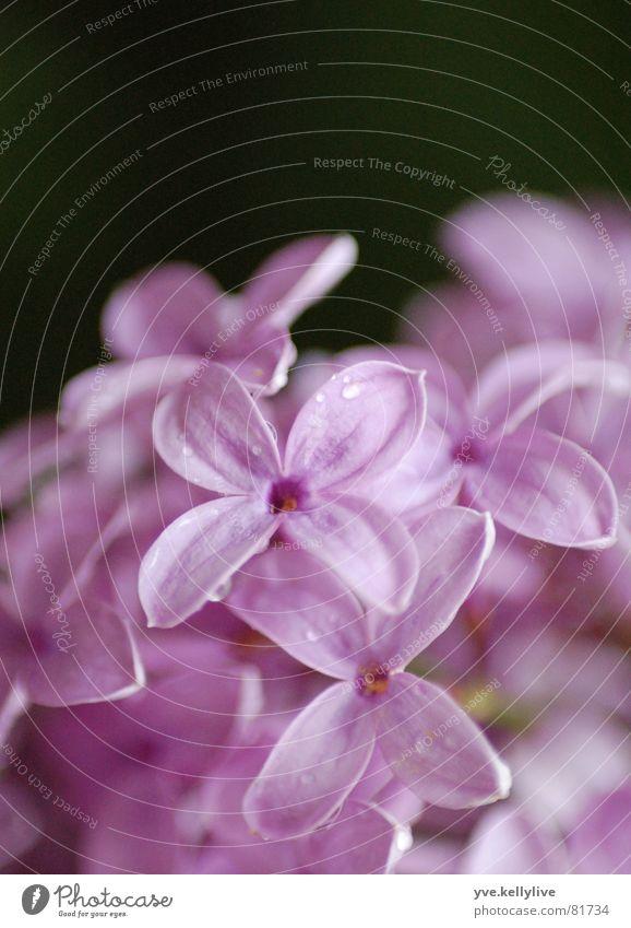 Flieder schwarz Blüte nah violett Fliederbusch