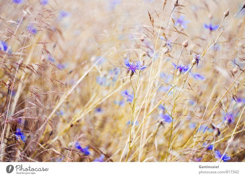 Wiesenblumen Natur blau Pflanze schön Sommer Blume Landschaft gelb Wärme Feld gold Schönes Wetter Kornfeld Getreidefeld Kornblume