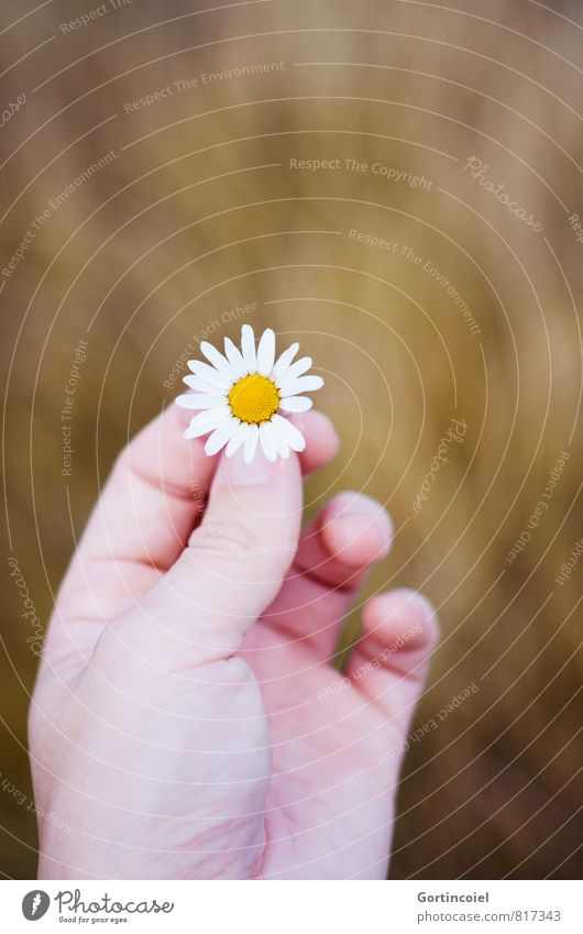 Kamille Hand Finger Pflanze Sommer Blume Feld schön Kamillenblüten festhalten Blüte Wiesenblume Farbfoto Außenaufnahme Textfreiraum oben Schwache Tiefenschärfe