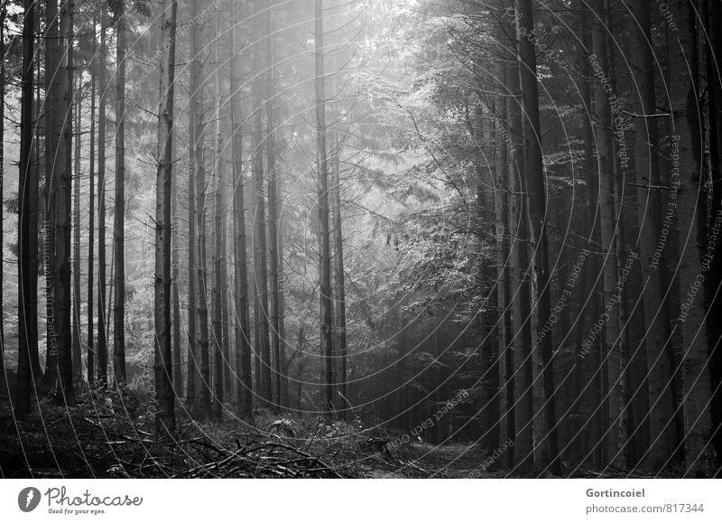 Forst Umwelt Natur Landschaft Schönes Wetter Baum Wald dunkel Nadelbaum Waldlichtung Waldboden Tanne Nadelwald Schwarzweißfoto Außenaufnahme Tag Licht Schatten