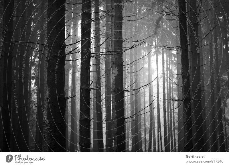 Tannicht Umwelt Natur Landschaft Baum Wald dunkel Nadelbaum Tanne Nadelwald Schwarzweißfoto Außenaufnahme Tag Licht Schatten Lichterscheinung Sonnenlicht