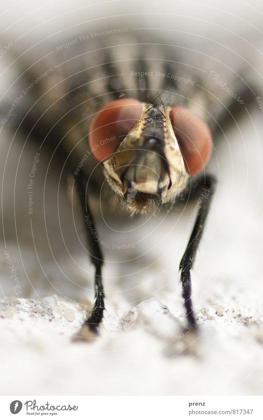 Fliege guckt Umwelt Natur Tier Sommer Schönes Wetter Wildtier Tiergesicht 1 braun grau schwarz Facettenauge Blick Insekt Farbfoto Außenaufnahme Nahaufnahme