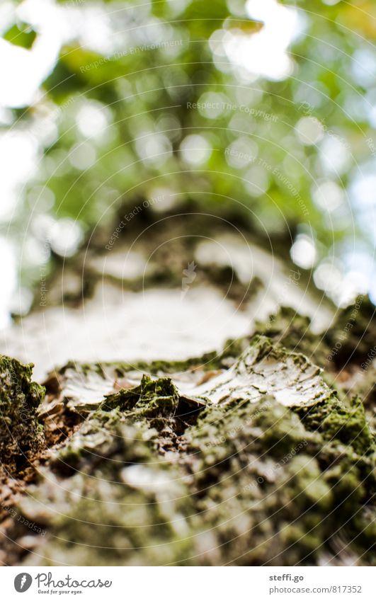 Birkenrinde Pflanze Baum Grünpflanze Park alt außergewöhnlich gigantisch hoch natürlich braun grün weiß Ewigkeit Natur Umwelt Verfall Vergangenheit