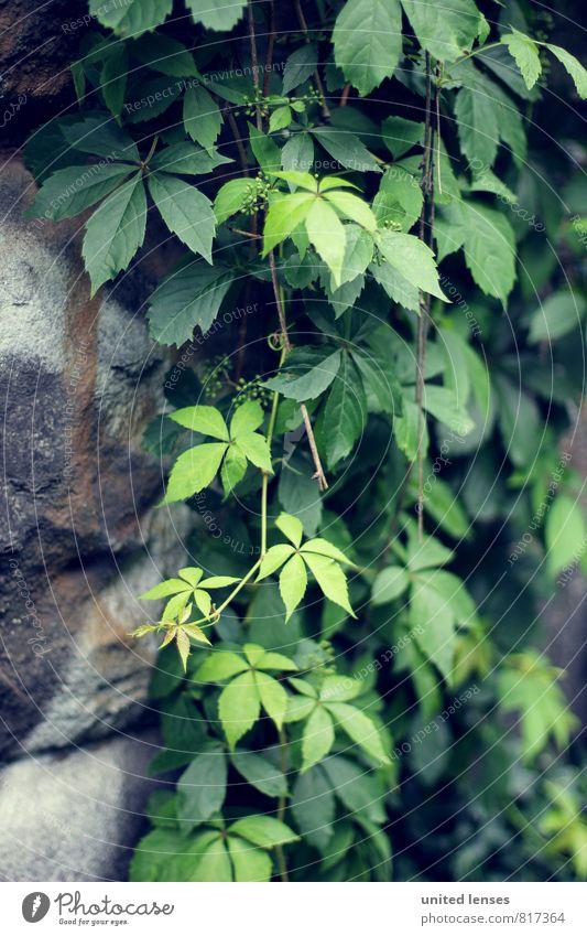 #LO Mauergrün Natur Pflanze Blatt Garten Wachstum Zufriedenheit ästhetisch Romantik verträumt bewachsen Ranke verborgen Mauerpflanze Mauerstein