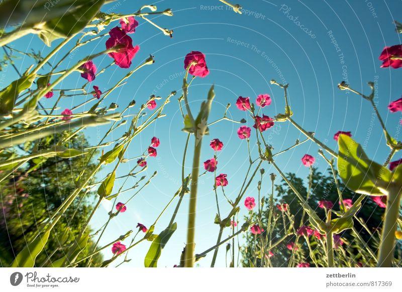 Lichtnelke Garten Schrebergarten Natur Park Sommer Wachstum Blume Blüte Blühend Froschperspektive Himmel Wolkenloser Himmel Pflanze kronenlichtnelke