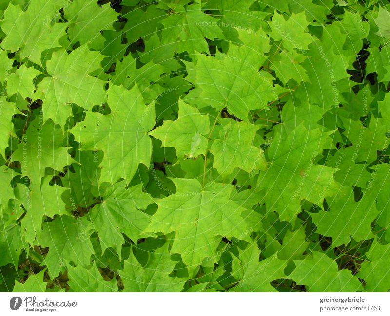 Kanadisches Wahrzeichen Kanada Ahorn Blatt grün Frühling Sommer Natur