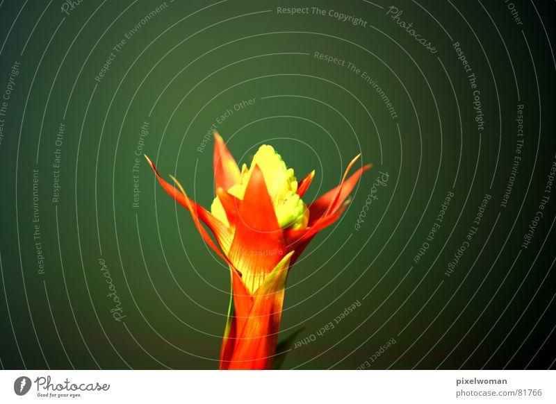 Blütenkopf Blume grün Pflanze rot gelb Stengel