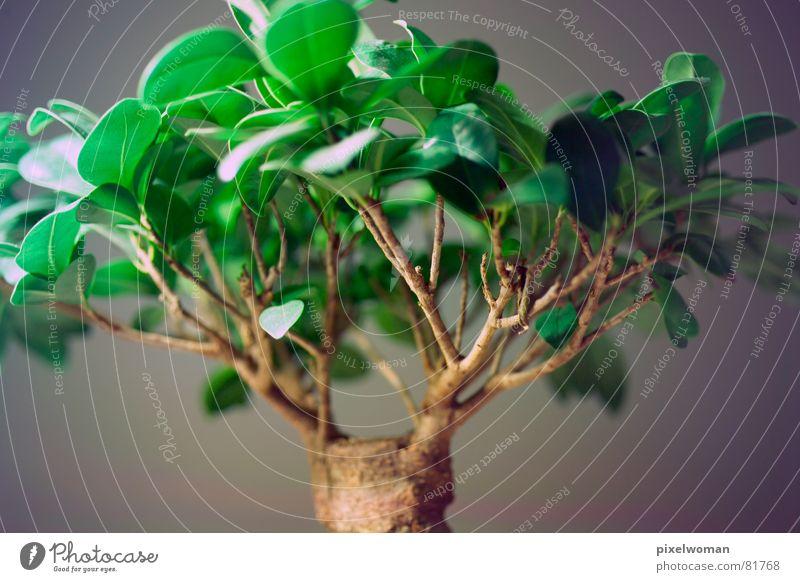 Bonsai grün Baum braun grau Ast