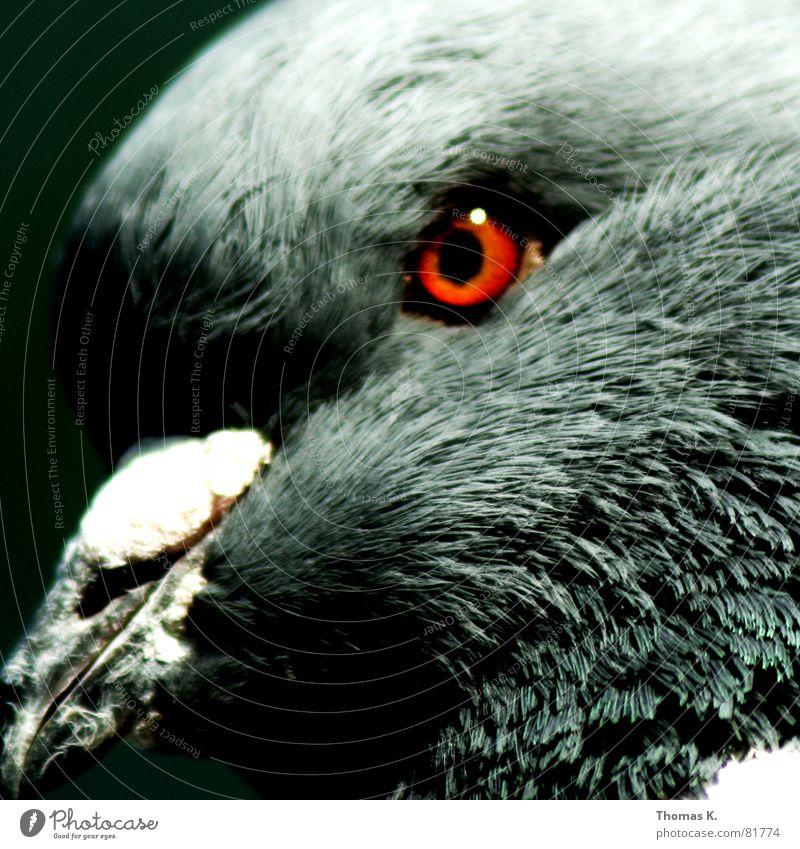 Kapitel 2 Glucke Taube Schnabel Vogel Daunen grau weiß Auge Vogelgrippe Ornithologie Vogeljagd mausern Feder dreckig Hals grünschnabel vogelfang