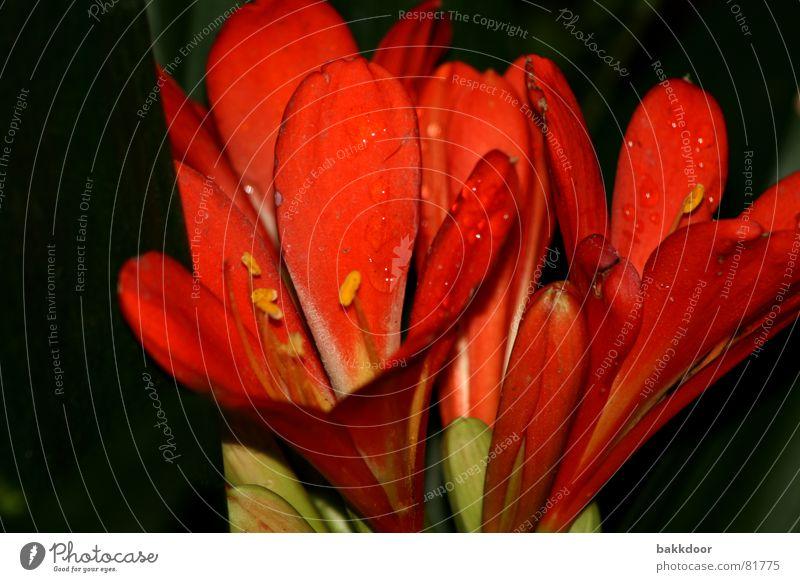 Blühende Frische Fröhlichkeit Blume frisch Leben rot mehrfarbig dunkel groß Vordergrund Hintergrundbild Blüte schwarz Trauer wirklich Vor dunklem Hintergrund