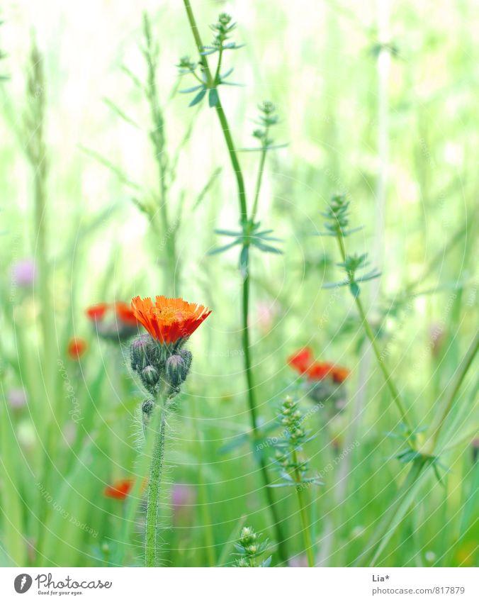 Sommerwiese Natur Pflanze Blume Gras Wiese Feld Blühend Wachstum grün Blumenwiese Blütenknospen grasgrün Farbfoto Außenaufnahme Nahaufnahme Detailaufnahme