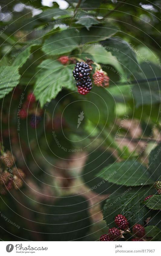 brombeeren Natur Pflanze natürlich Gesundheit Garten Frucht frisch Grünpflanze Nutzpflanze Brombeeren