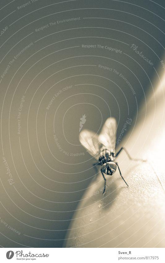 Die Fliege Tier Tiergesicht Flügel 1 ruhig Langeweile Schwarzweißfoto Makroaufnahme Textfreiraum links Textfreiraum oben Hintergrund neutral Kunstlicht