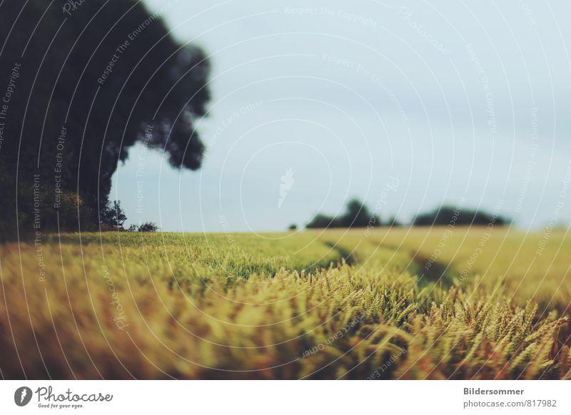 . Umwelt Natur Landschaft Pflanze Himmel Sommer Nutzpflanze Feld Erholung Wachstum gelb grau grün orange schwarz ruhig Idylle Vergänglichkeit Weizen Getreide