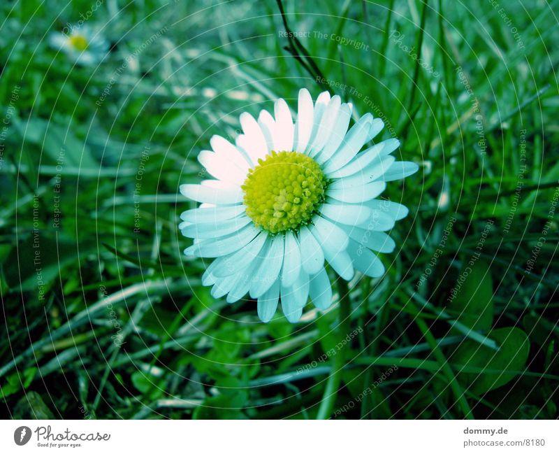 Gänseblümchen Blume grün Frühling Makroaufnahme