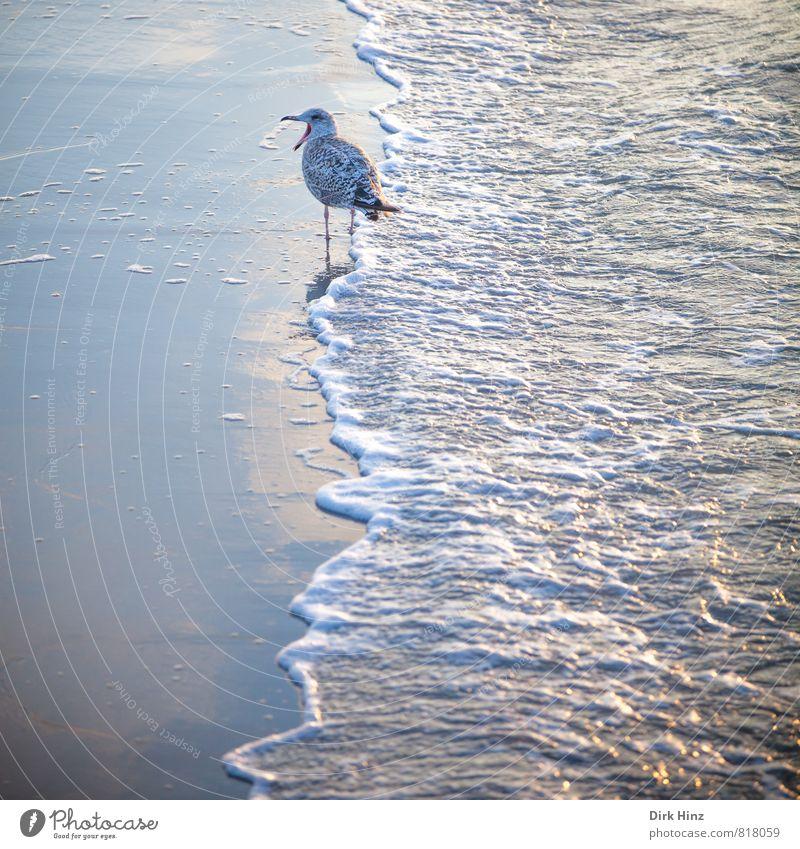 Möwe & Meer Ferien & Urlaub & Reisen Sommerurlaub Strand Umwelt Natur Sand Wasser Wellen Küste Ostsee Tier Wildtier Vogel 1 Kommunizieren sprechen schreien blau