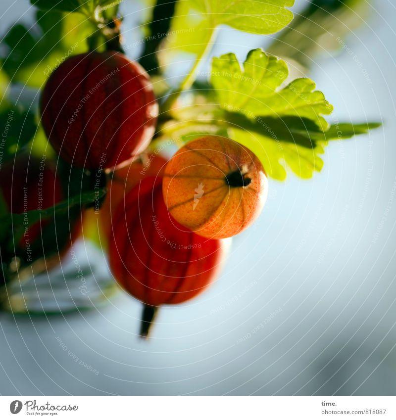 was sich die Natur so einfallen lässt Gartenarbeit Landwirtschaft Forstwirtschaft Umwelt Pflanze Schönes Wetter Blatt Nutzpflanze Stachelbeeren Ast