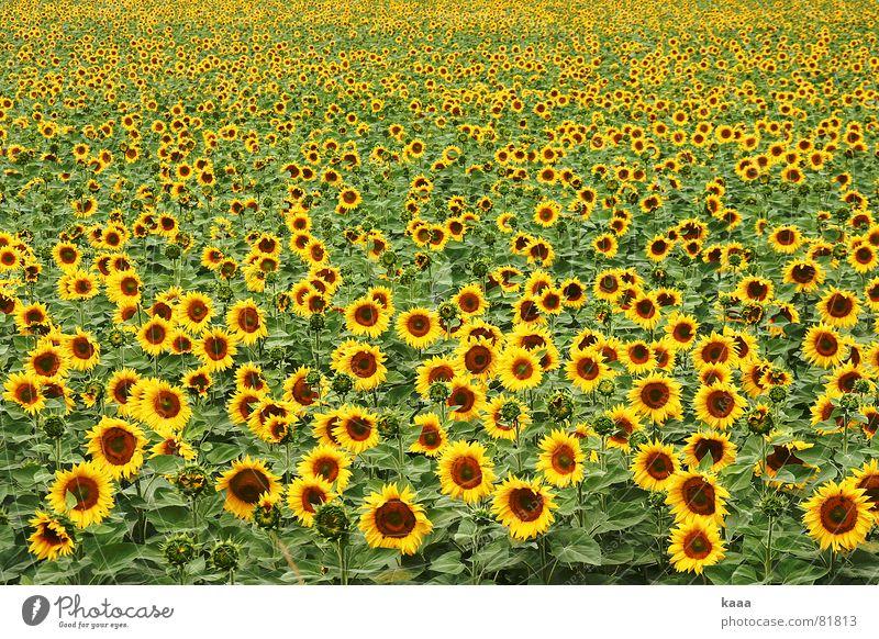 Hello Sunshine Blume Sommer gelb Feld Frankreich Sonnenblume Provence